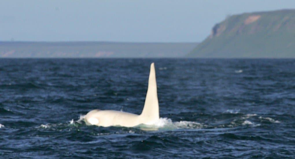 (c) E. Lazareva, Far East Russia Orca Project (FEROP, WDC)