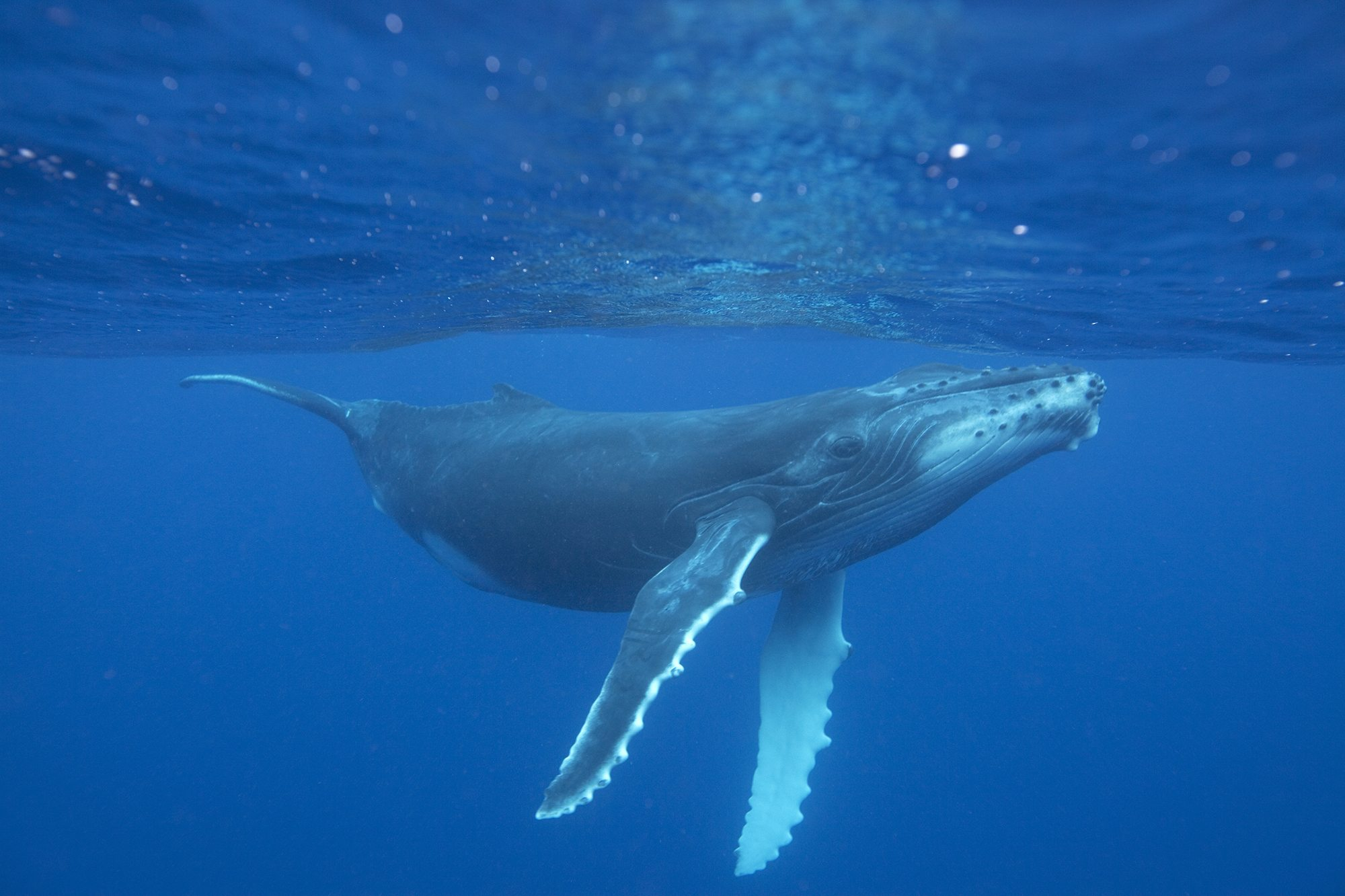 Humpback whale - Whale & Dolphin Conservation Australia
