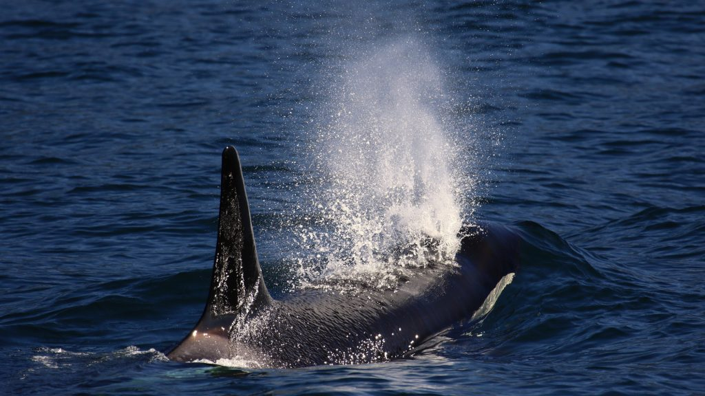 Orca surfacing to breathe