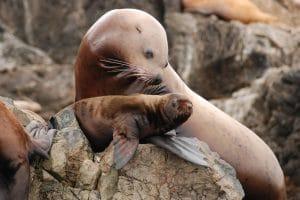US Senate wants to kill nearly 1,000 sea lions a year