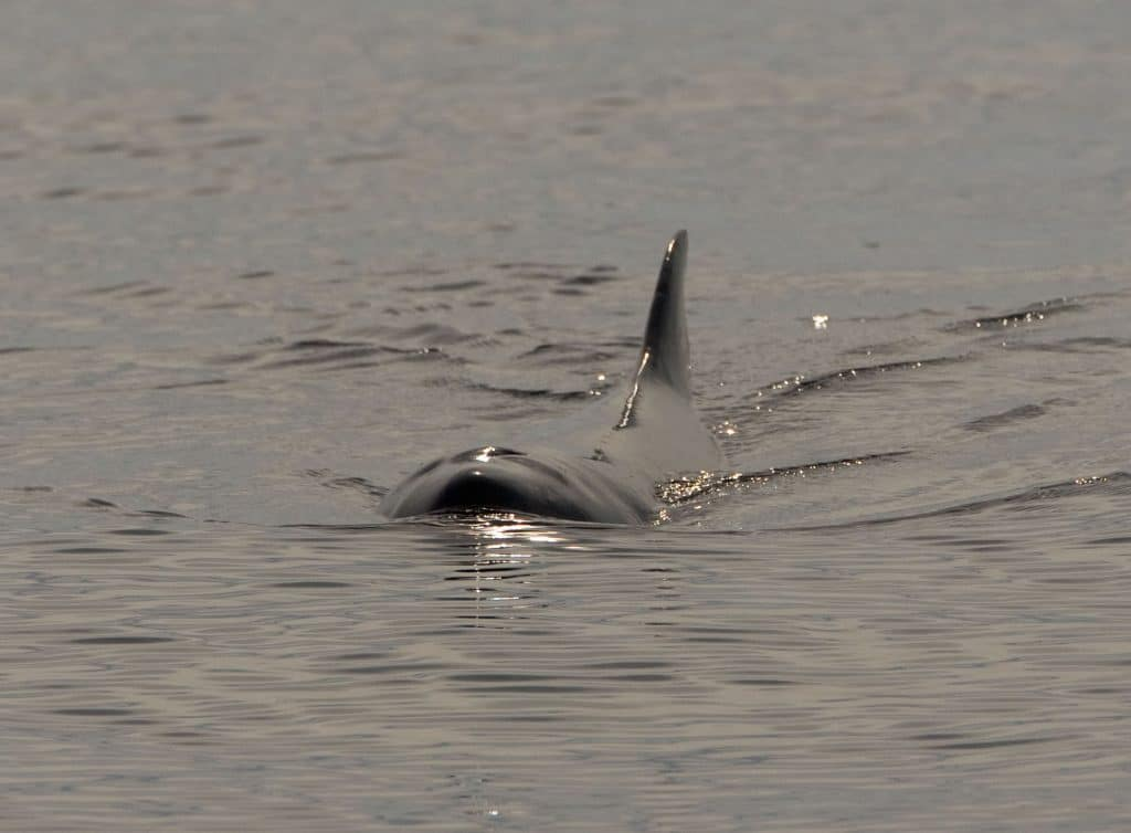 Pygmy sperm whale live