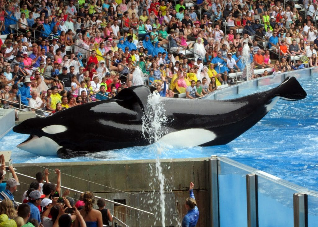 Tilikum in captivity