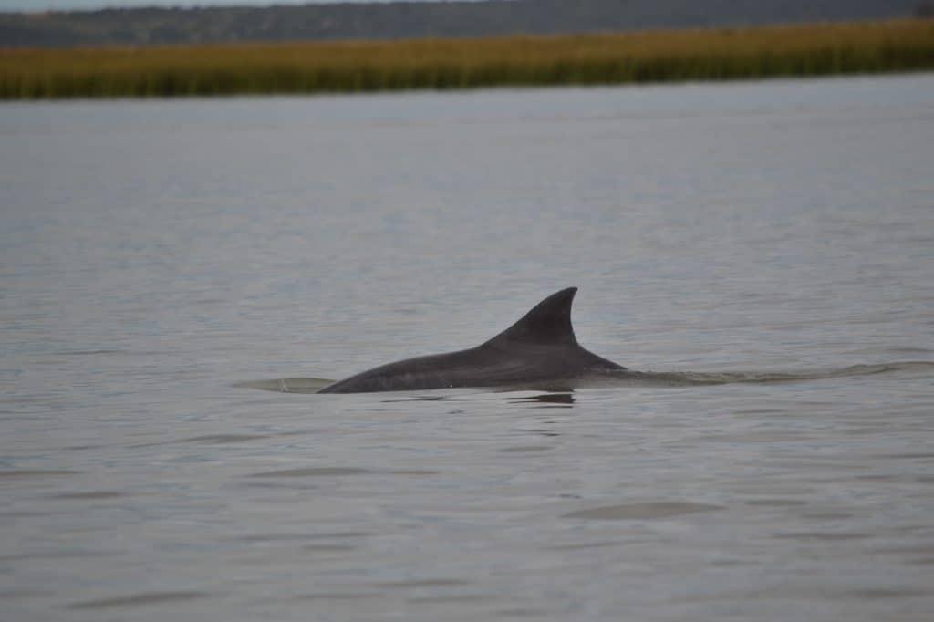 Lahille's bottlenose dolphin