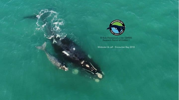 Southern right whale with calf in Encounter Bay