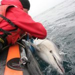 Common dolphin trapped in net
