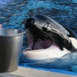 Corky, an orca (killer whale) in captivity at SeaWorld