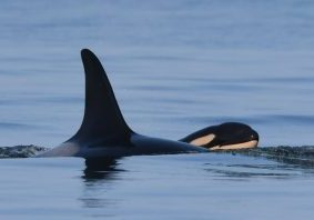 J35 with her new calf J57.