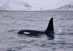 A wild orca in Iceland